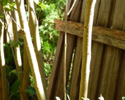 The fungal attack had collapsed the fence.