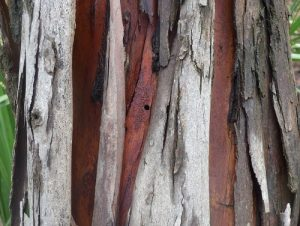 Australian tree with a borer hole in the trunk.